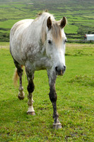 Horse, County Galway, Ireland